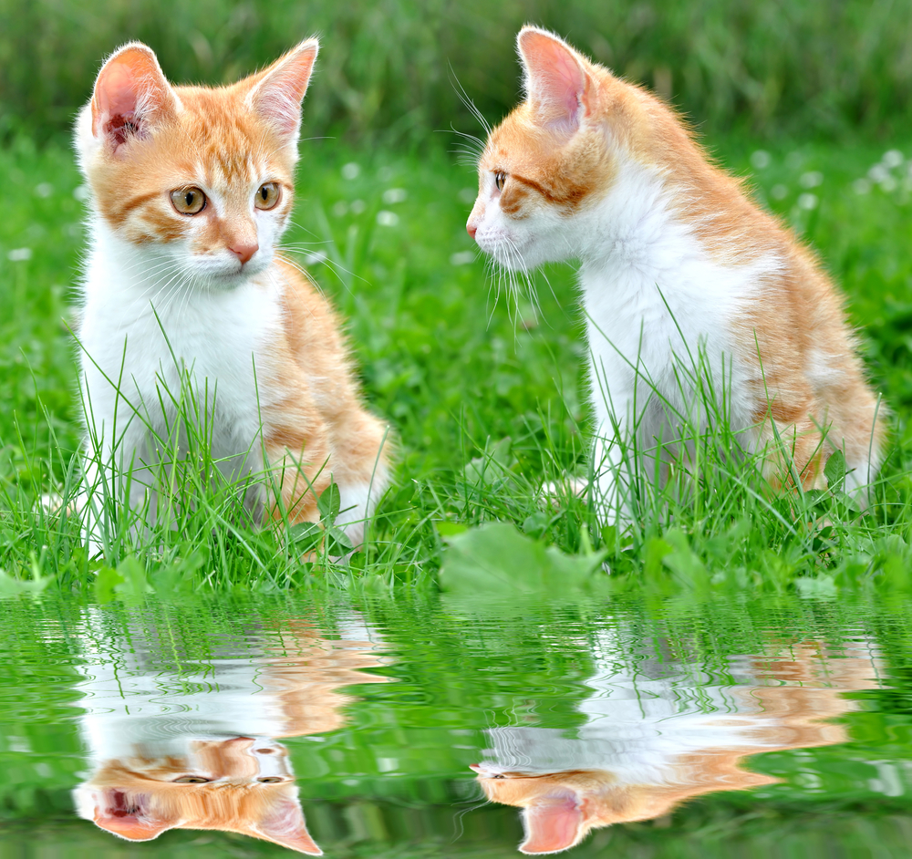 Cute image of an orange tabby kitten with a reflection of him in water