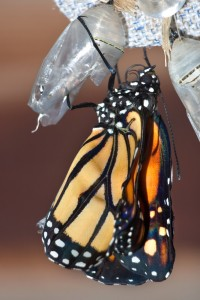 This is an image of a monarch butterfly emerging from its chrysalis